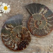 Ammoniit (goniatiit), väga suur