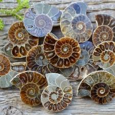 Ammoniit (goniatiit), väike